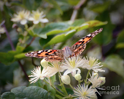 Photograph - Thirsty Butterfly by Kerri Farley