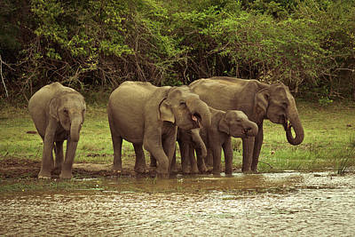 Sri Lanka Photograph - Thirsty Elephants #1 by Migara Luvis