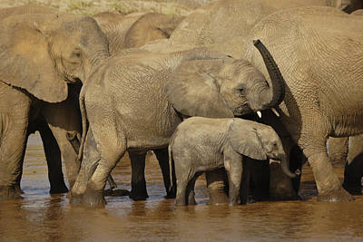 Photograph - Thirsty Elephants by Michele Burgess