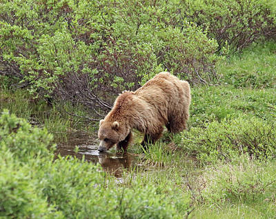 Photograph - Thirsty Grizzly by Jean Clark