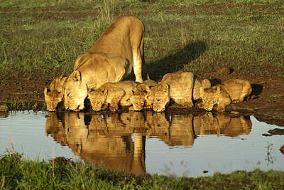 Photograph - Thirsty Lions by Michele Burgess