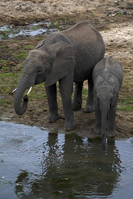 Loxodanta Photograph - Thirsty Mom And Baby Elephants by Sally Weigand