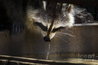Photograph - Thirsty Racoon by Joann Long