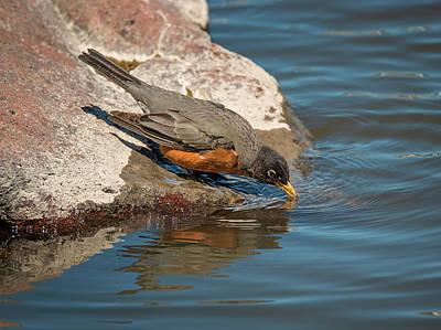 Photograph - Thirsty Robin by Loree Johnson