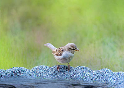 Photograph - Thirsty Sparrow by Cathy Kovarik