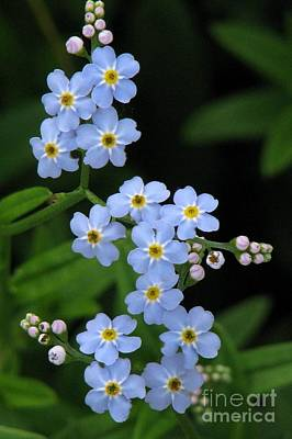 Photograph - Thirteen Forget-me-nots by Frank Townsley