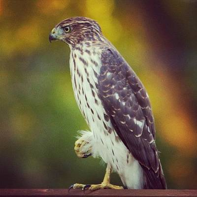 Birds Wall Art - Photograph - Coopers Hawk by Heidi Hermes