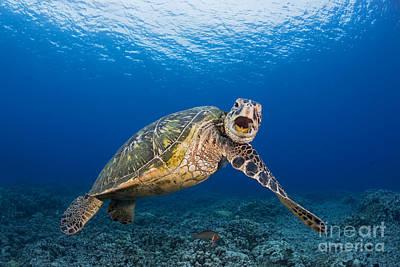 Niihau Hawaii Photograph - Green Sea Turtle by Dave Fleetham