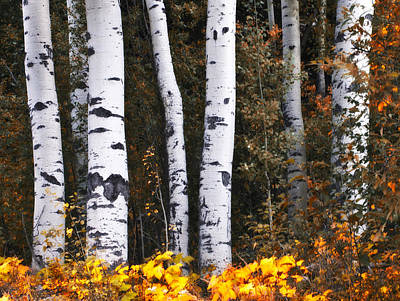 This Is British Columbia 17 - The Aspen Forest Art Print