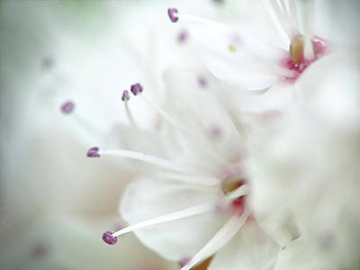 Photograph - This Is Not A Cherry Blossom by Lilia D