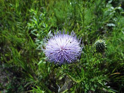 Photograph - Thistle 2 by Jamie Johnson