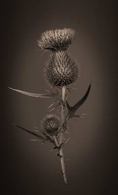 Photograph - Thistle 2 by Simone Ochrym