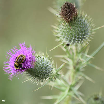 Photograph - Thistle And Bee 1 by John Meader