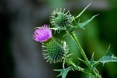 Photograph - Thistle And Purple Flower by Douglas Pike