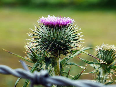 Photograph - Thistle And Rain Drops by Lexa Harpell