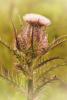 Photograph - Thistle And Thorns Unfolding by Nadalyn Larsen