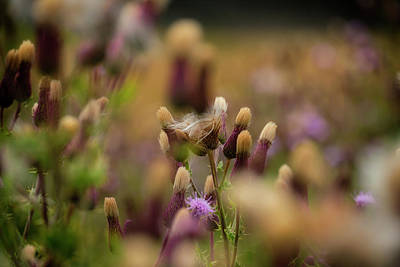 Photograph - Thistle Babies by Jeremy Lavender Photography