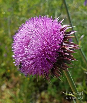 Photograph - Thistle Beauty by Maria Urso
