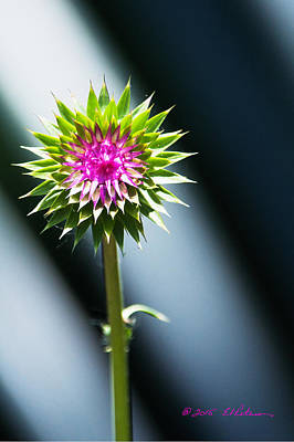 Photograph - Thistle Bloom by Edward Peterson