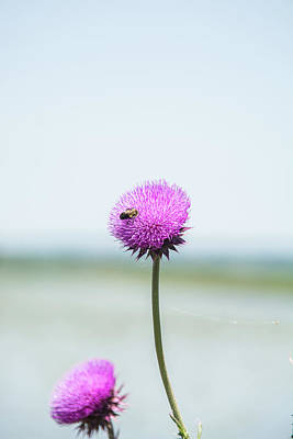 Photograph - Thistle Bloom by Pamela Williams