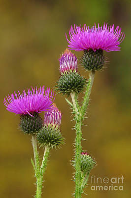 Photograph - Thistle Blooms by Frank Townsley