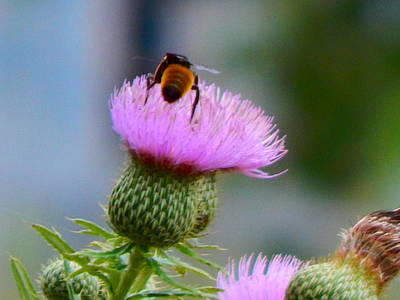 Photograph - Thistle Blossom With Bee by Virginia Kay White