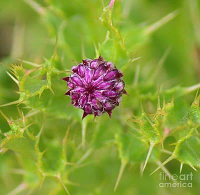 Photograph - Thistle Bud by Ann E Robson