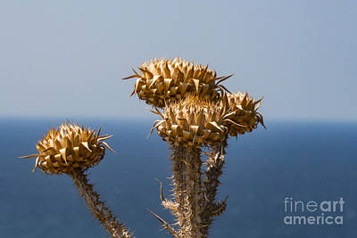 Thistle By The Sea Art Print