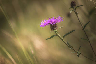 Thistle Photograph - Thistle by Chris Fletcher