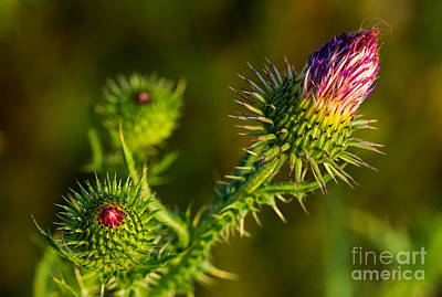 Photograph - Thistle Flower And Bud by Les Palenik