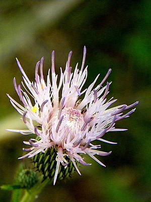 Photograph - Thistle Flower  by Chris Mercer