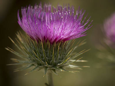 Madera Canyon Photograph - Thistle Flower by Jean Noren