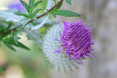 Photograph - Thistle Flower by Keith Boone