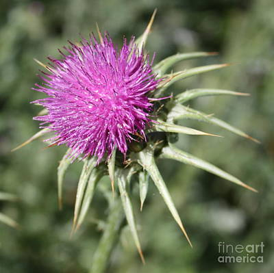Marian Photograph - Thistle Flower Square by Carol Groenen