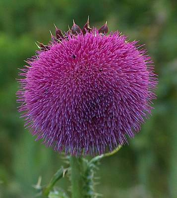 Thistle Flower Print by Tim McCarthy