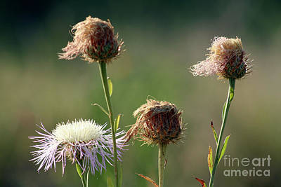 Photograph - Thistle Generations by Alycia Christine