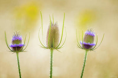 Photograph - Thistle Heads by Dee Browning