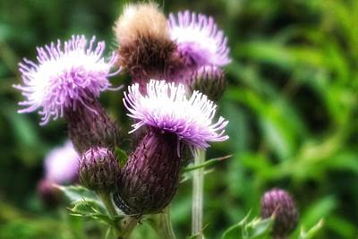Photograph - Thistle by YoursByShores Isabella Shores