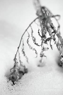 Thistle In Snow Art Print by Gabriela Insuratelu