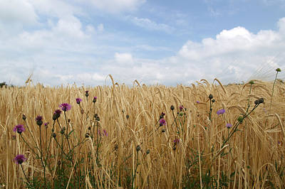 Wheat Field Sky Photograph - Thistle In Wheat Field by Jessica Rose