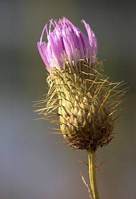 Photograph - Thistle by Joseph Skompski