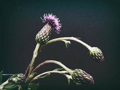 Photograph - Thistle by Karen Stahlros