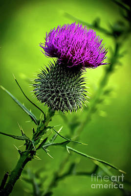 Photograph - Thistle by Lois Bryan