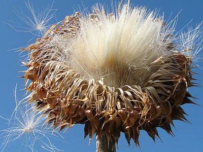 Photograph - Thistle Plant by J R Seymour