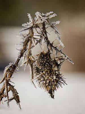 Photograph - Thistle Seed Pods - 365-316 by Inge Riis McDonald