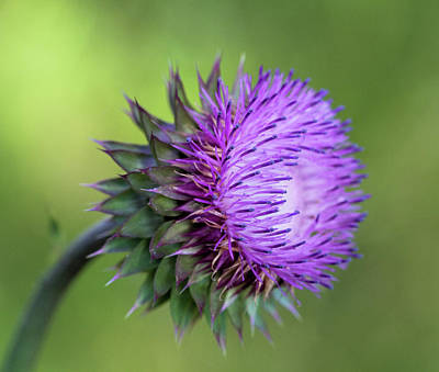 Photograph - Thistle Wildflower by Kathy Clark