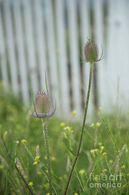 Photograph - Thistles by Jenny Potter