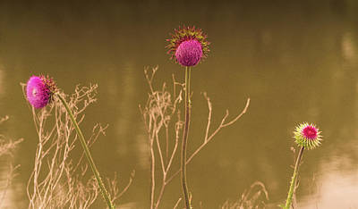 Photograph - Thistles by Melinda Dreyer