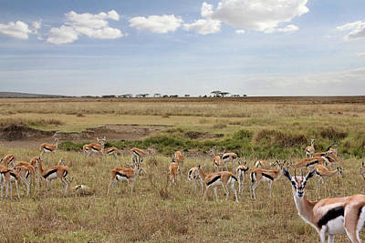 Photograph - Thomson Gazelle Herd In African Landscape by Gill Billington