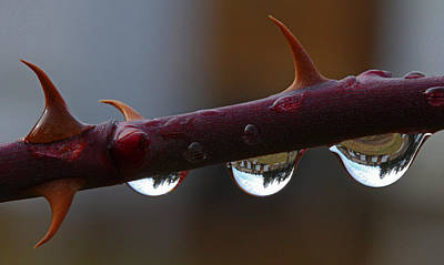 Photograph - Thorns Vs. Droplets by Gary Wing